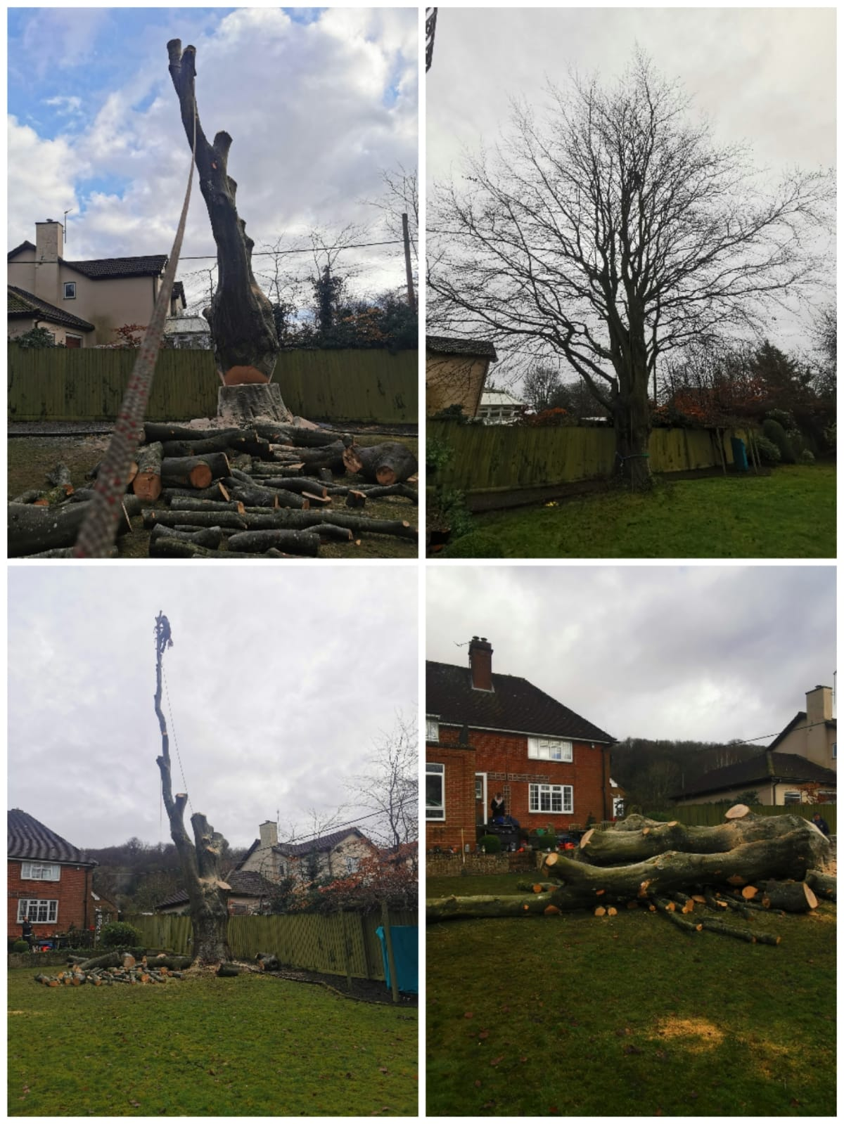 Taking down a beech tree in Fovant, Wiltshire